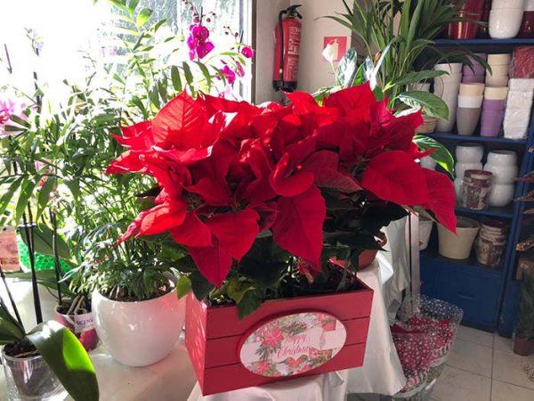 Dos flores de Pascua con macetero navideño especial navidad